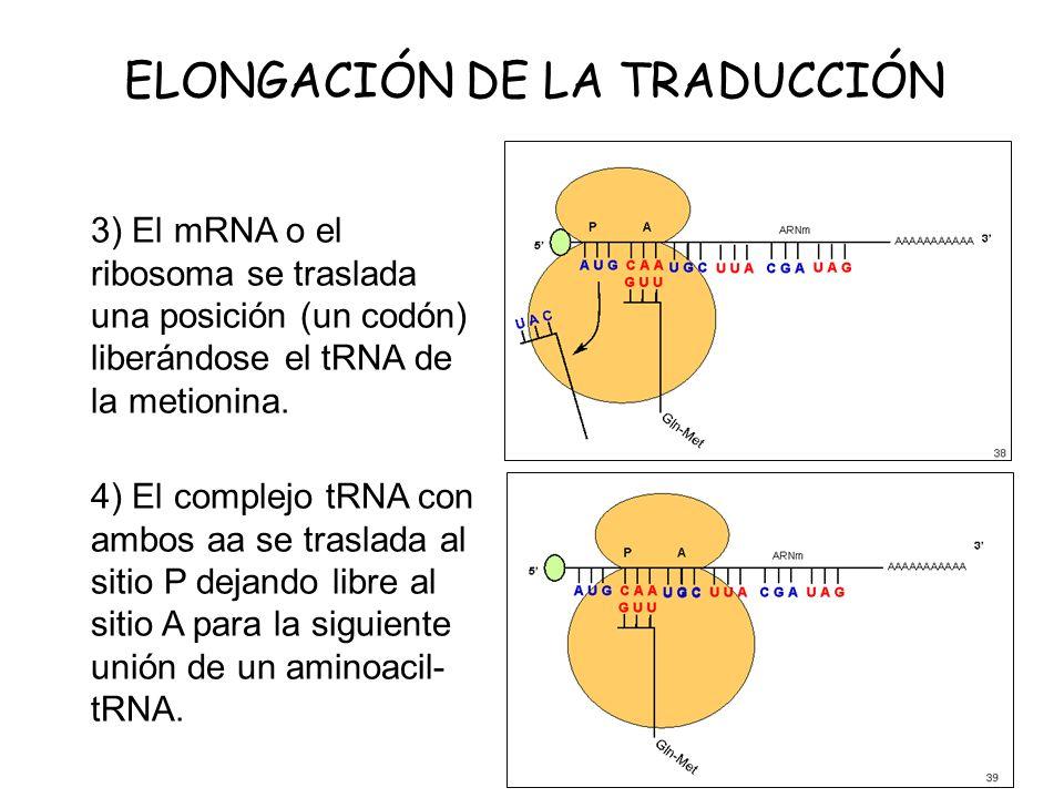 ELONGACIÓN DE LA TRADUCCIÓN 3) El mRNA o el ribosoma se traslada una posición (un codón) liberándose el tRNA de la metionina. 4) El complejo tRNA con