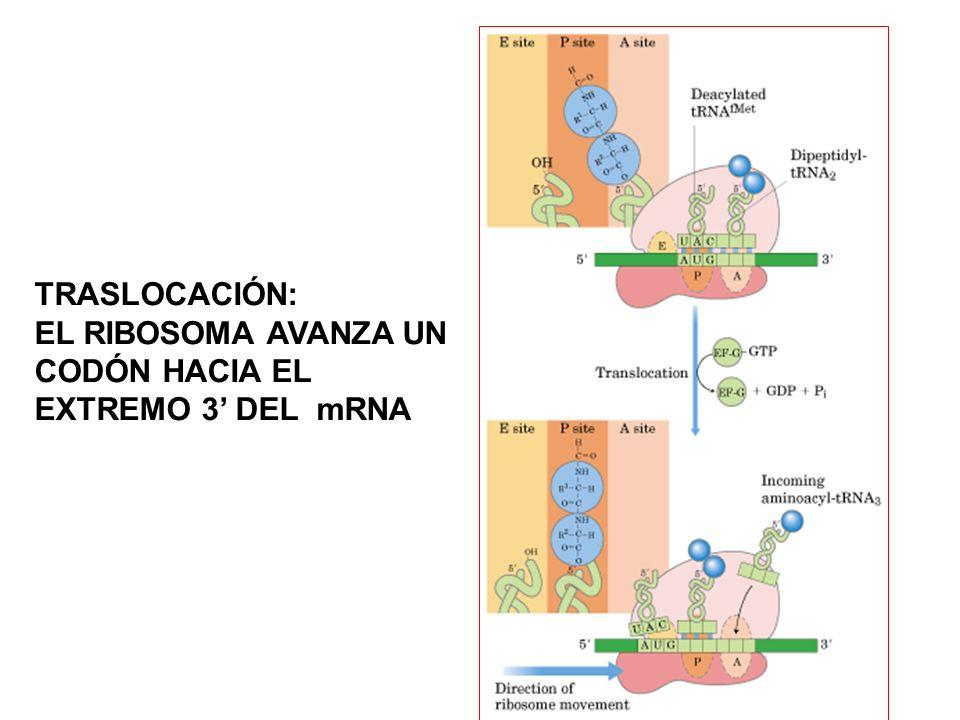 TRASLOCACIÓN: EL RIBOSOMA AVANZA UN CODÓN HACIA EL EXTREMO 3 DEL mRNA