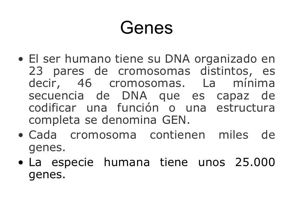 Genes El ser humano tiene su DNA organizado en 23 pares de cromosomas distintos, es decir, 46 cromosomas. La mínima secuencia de DNA que es capaz de c