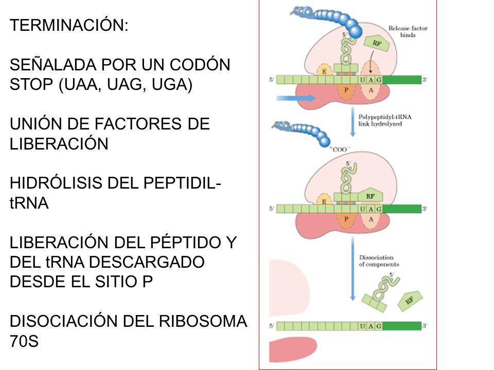 TERMINACIÓN: SEÑALADA POR UN CODÓN STOP (UAA, UAG, UGA) UNIÓN DE FACTORES DE LIBERACIÓN HIDRÓLISIS DEL PEPTIDIL- tRNA LIBERACIÓN DEL PÉPTIDO Y DEL tRN