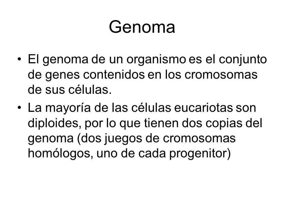 Genoma El genoma de un organismo es el conjunto de genes contenidos en los cromosomas de sus células. La mayoría de las células eucariotas son diploid
