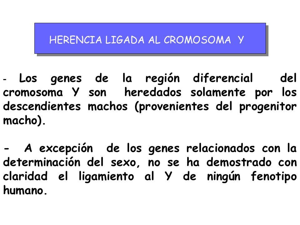 HERENCIA LIGADA AL CROMOSOMA Y - Los genes de la región diferencial del cromosoma Y son heredados solamente por los descendientes machos (provenientes