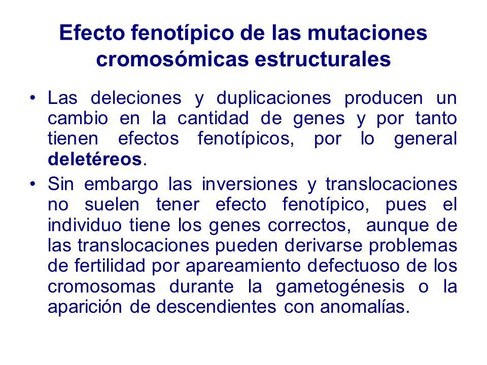 Efecto fenotípico de las mutaciones cromosómicas estructurales Las deleciones y duplicaciones producen un cambio en la cantidad de genes y por tanto t