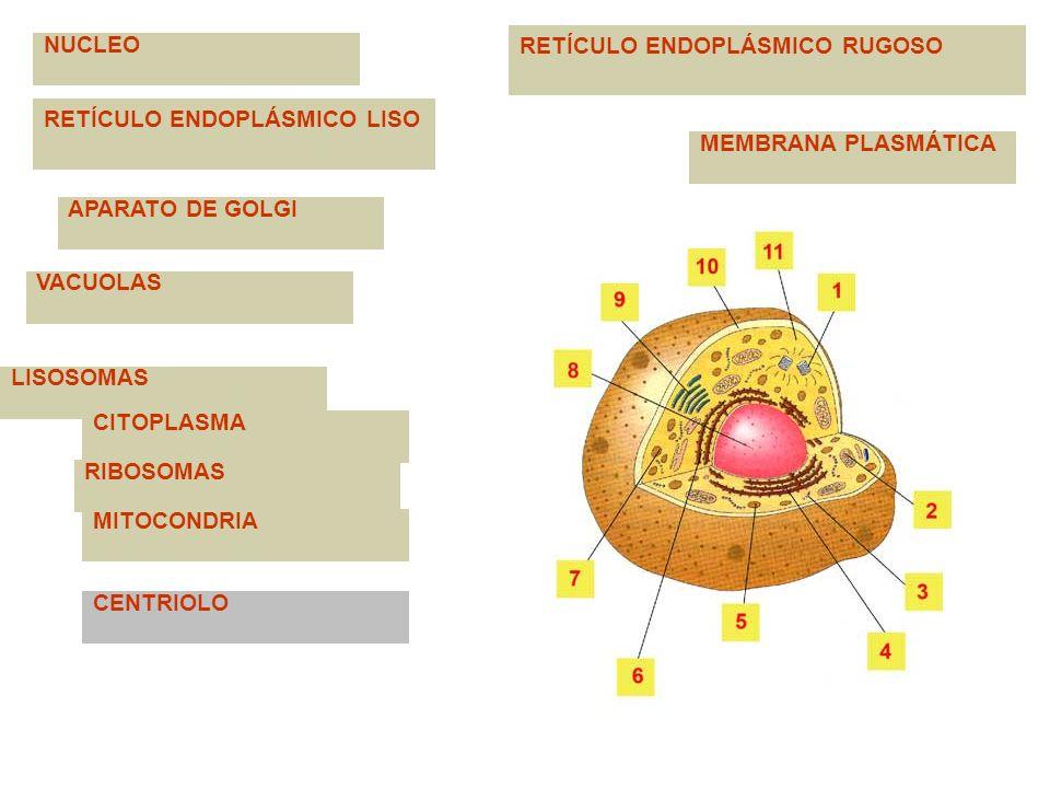 NUCLEO MEMBRANA PLASMÁTICA RETÍCULO ENDOPLÁSMICO LISO APARATO DE GOLGI VACUOLAS RETÍCULO ENDOPLÁSMICO RUGOSO LISOSOMAS CITOPLASMA RIBOSOMAS MITOCONDRI