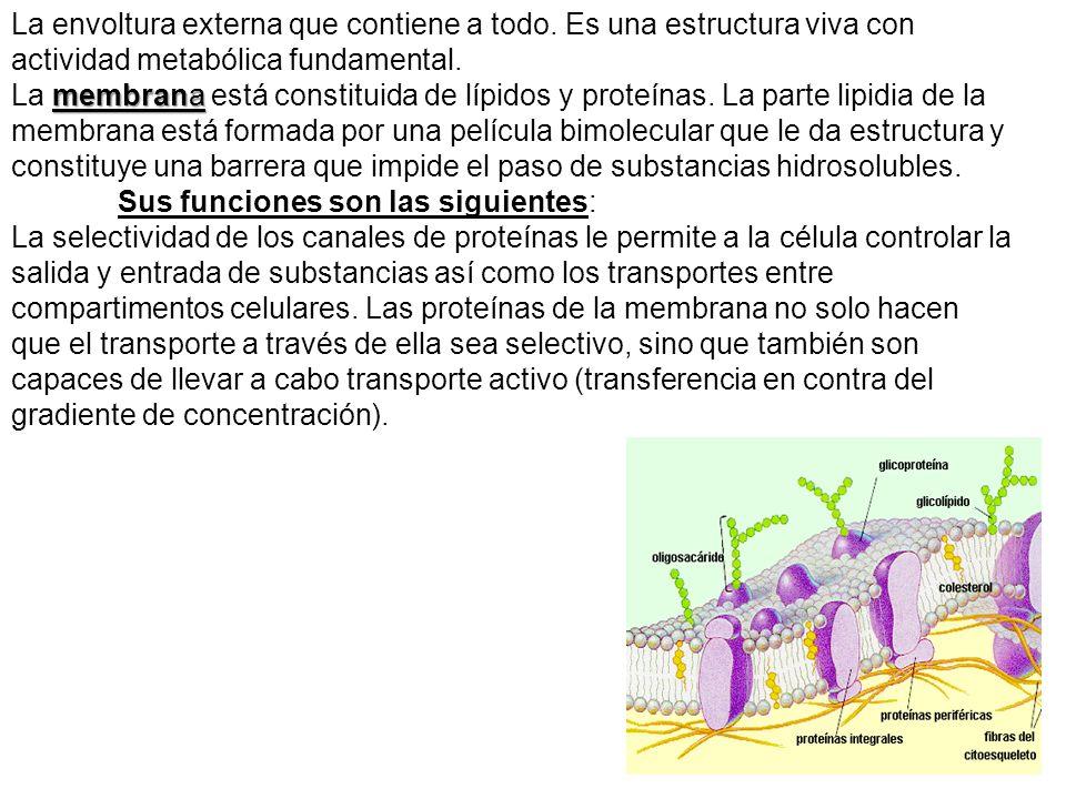 membrana La envoltura externa que contiene a todo. Es una estructura viva con actividad metabólica fundamental. La membrana está constituida de lípido