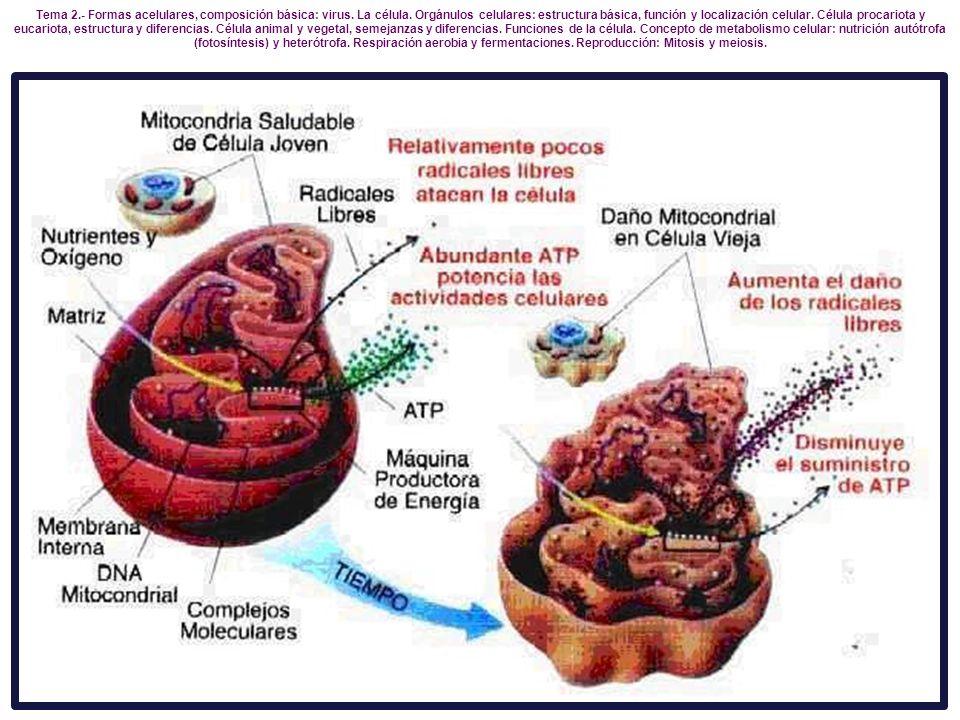 Tema 2.- Formas acelulares, composición básica: virus. La célula. Orgánulos celulares: estructura básica, función y localización celular. Célula proca