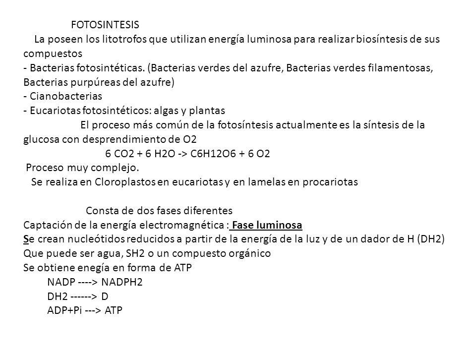 FOTOSINTESIS La poseen los litotrofos que utilizan energía luminosa para realizar biosíntesis de sus compuestos - Bacterias fotosintéticas. (Bacterias