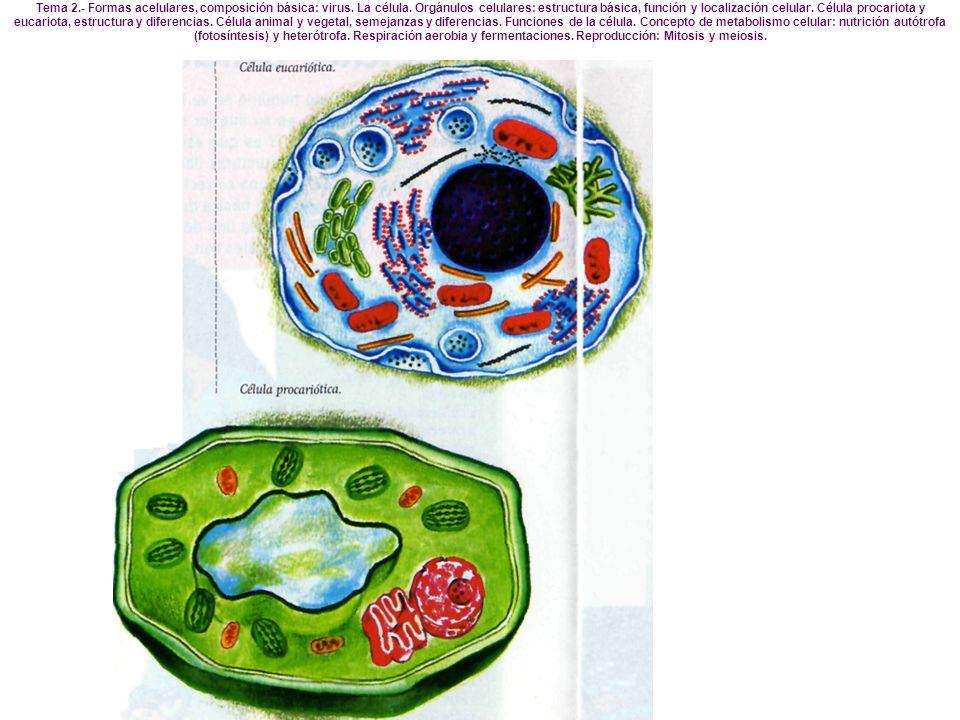 Síntesis de compuestos orgánicos (fase oscura) Reducción de compuestos inorgánicos a orgánicos, principalmente C CO2 + 2 NADPH2 + ATP ----> (CHO) + 2NADP + H2O + ADP + Pi NO3- + 4 NADPH2 + H+ + ATP ----> NH3 + 4 NADP + 3 H2O + ADP + Pi Fase Luminosa Se produce en la membrana de los tilacoides de cloroplastos eucariotas o en lamelas procariotas Muy semejante en muchos sentidos a cadena respiratoria pero en sentido inverso - Captación de energía de la luz.