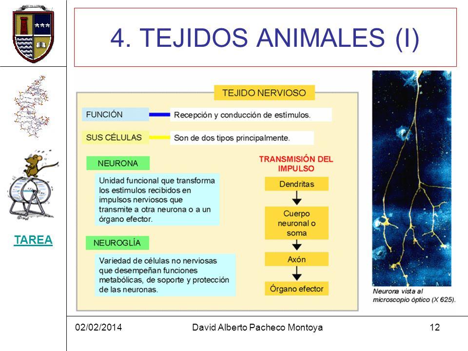 02/02/2014David Alberto Pacheco Montoya12 4. TEJIDOS ANIMALES (I) TAREA