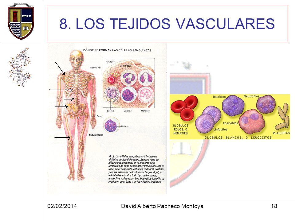 02/02/2014David Alberto Pacheco Montoya18 8. LOS TEJIDOS VASCULARES