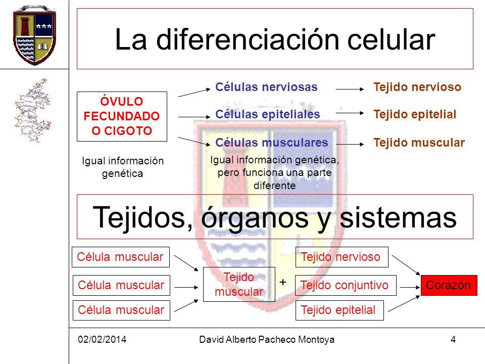 02/02/2014David Alberto Pacheco Montoya4 La diferenciación celular ÓVULO FECUNDADO O CIGOTO Células nerviosas Células musculares Células epiteliales T