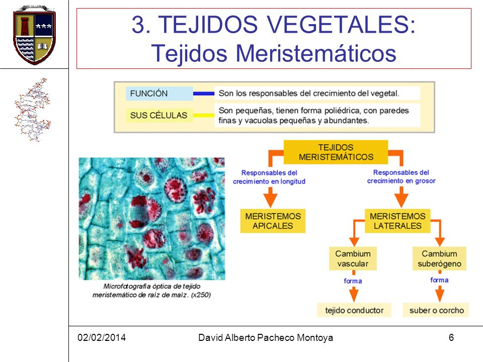 02/02/2014David Alberto Pacheco Montoya7 3. TEJIDOS VEGETALES: Tejidos definitivos (I)