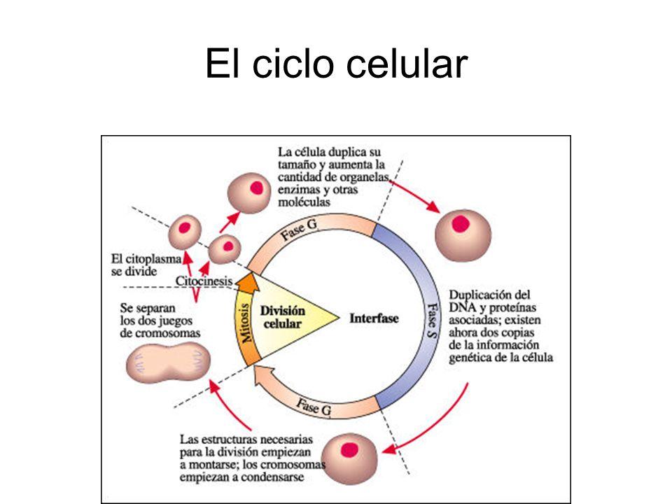 Mitosis Se forman dos células hijas, con la misma información genética Las células hijas son idénticas entre sí e idénticas a la célula madre.