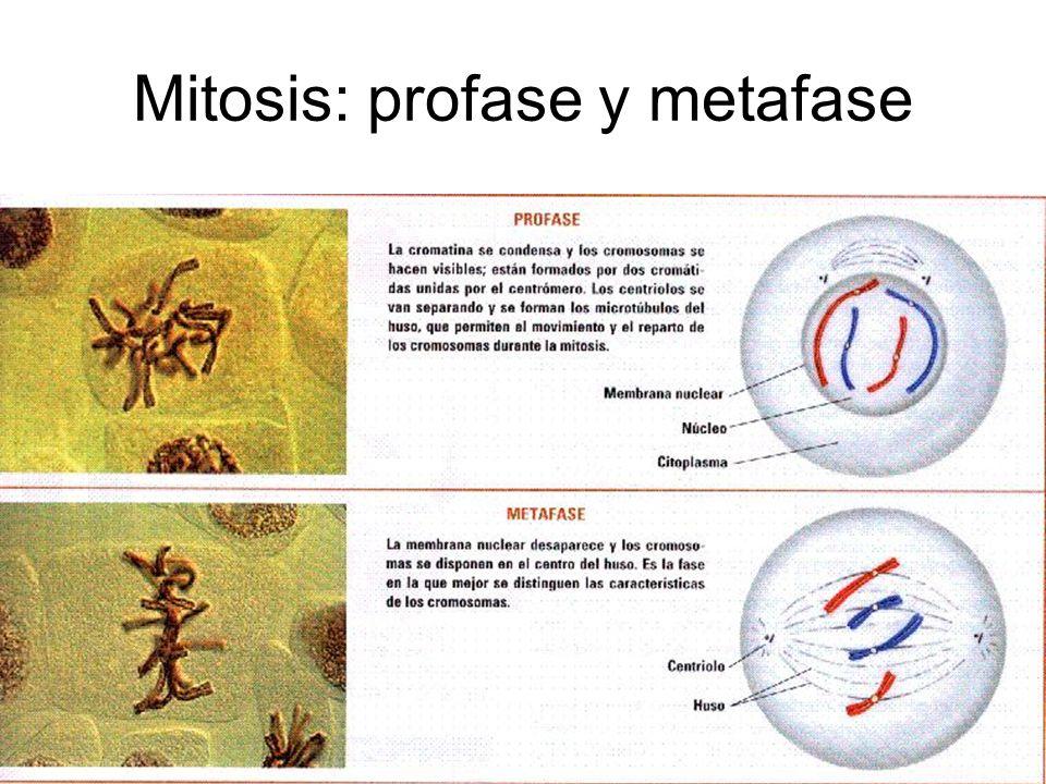 Mitosis: anafase y telofase