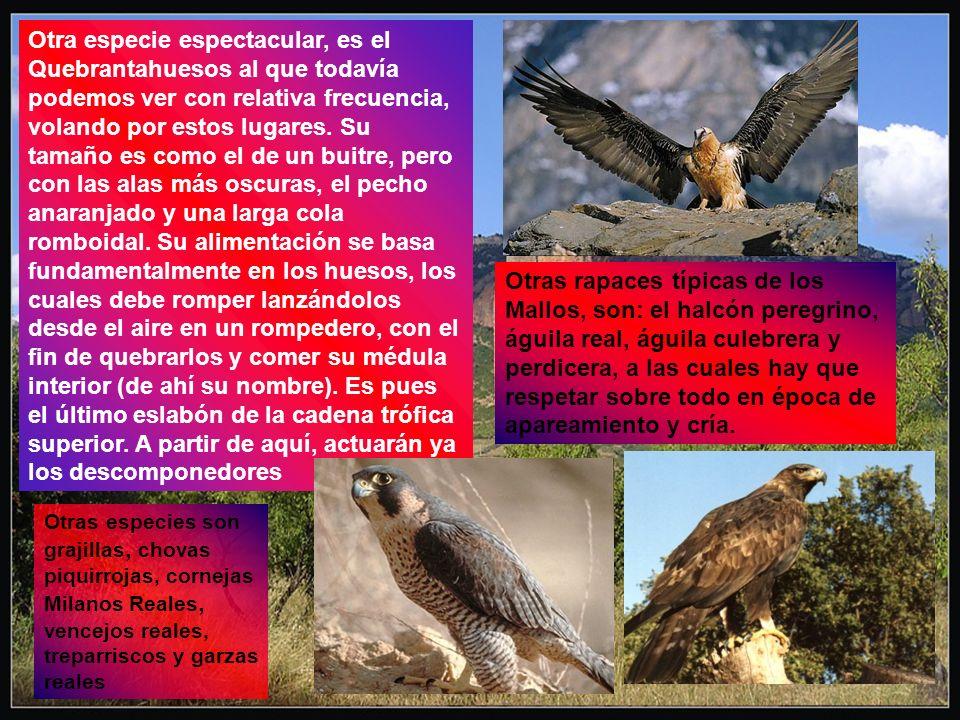 Otra especie espectacular, es el Quebrantahuesos al que todavía podemos ver con relativa frecuencia, volando por estos lugares. Su tamaño es como el d