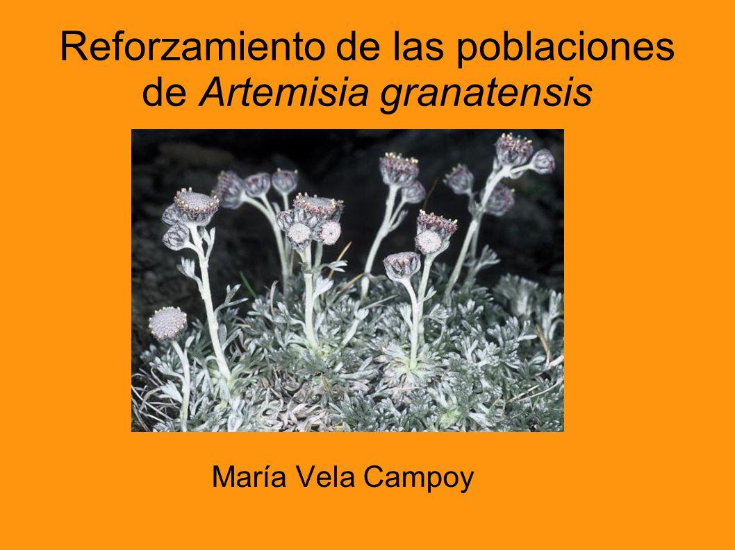 Reforzamiento de las poblaciones de Artemisia granatensis María Vela Campoy