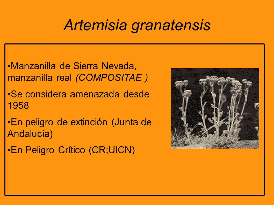 Artemisia granatensis Manzanilla de Sierra Nevada, manzanilla real (COMPOSITAE ) Se considera amenazada desde 1958 En peligro de extinción (Junta de A