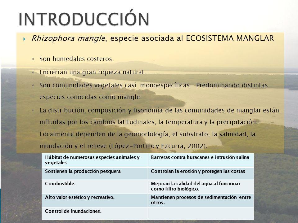 Rhizophora mangle, especie asociada al ECOSISTEMA MANGLAR Son humedales costeros. Encierran una gran riqueza natural. Son comunidades vegetales casí m
