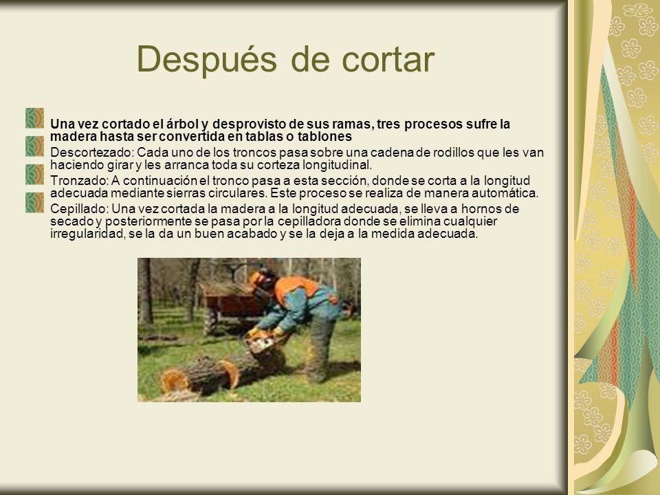Después de cortar Una vez cortado el árbol y desprovisto de sus ramas, tres procesos sufre la madera hasta ser convertida en tablas o tablones Descort