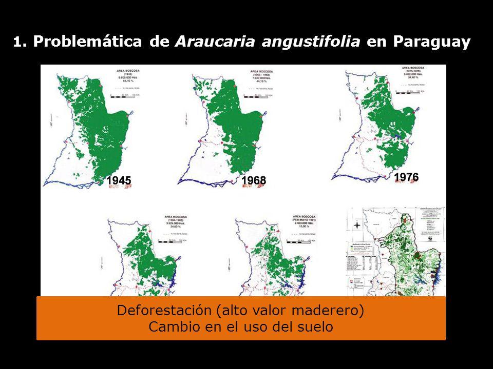 1. Problemática de Araucaria angustifolia en Paraguay Deforestación (alto valor maderero) Cambio en el uso del suelo