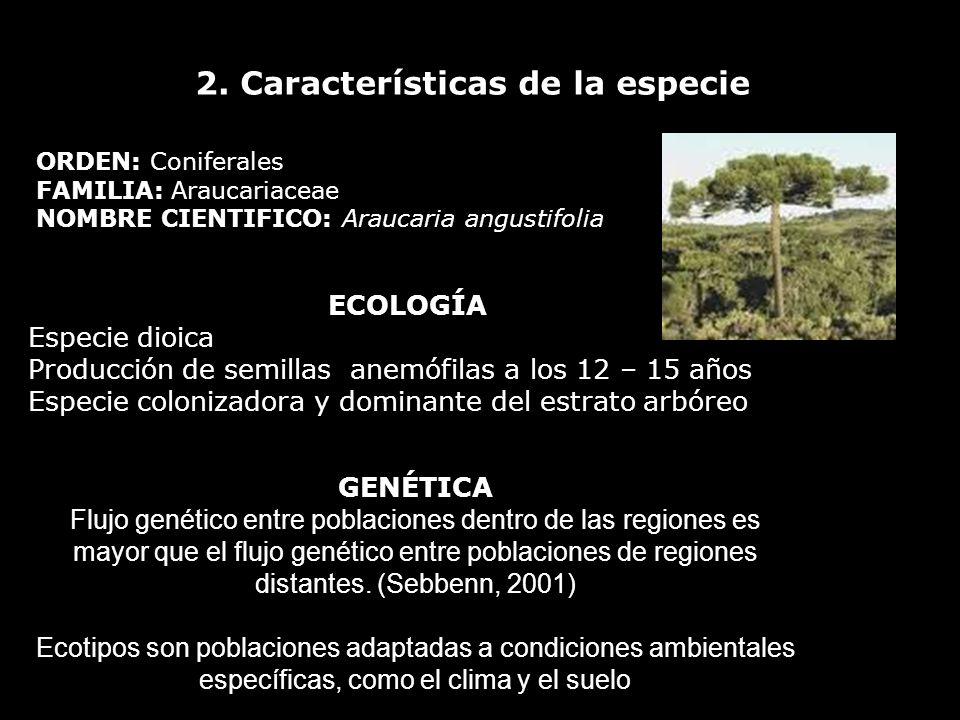 2. Características de la especie ORDEN: Coniferales FAMILIA: Araucariaceae NOMBRE CIENTIFICO: Araucaria angustifolia ECOLOGÍA Especie dioica Producció
