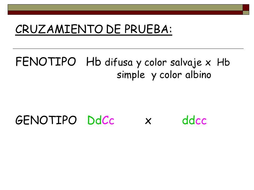 CRUZAMIENTO DE PRUEBA: FENOTIPO Hb difusa y color salvaje x Hb simple y color albino GENOTIPO DdCc x ddcc