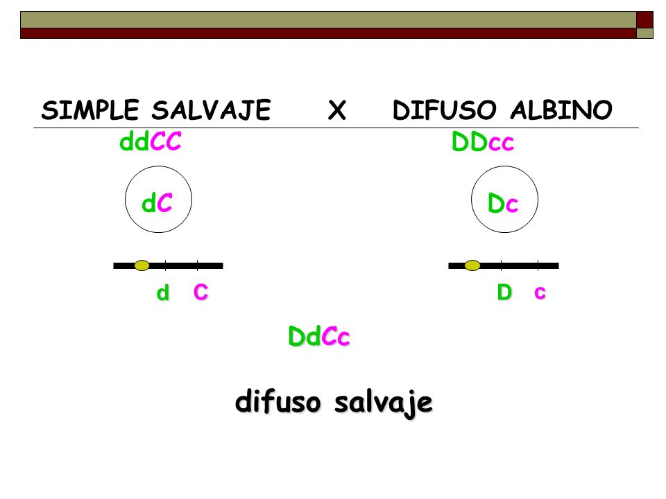 SIMPLE SALVAJE X DIFUSO ALBINO ddCC DDcc dC Dc DdCc difuso salvaje d CD c