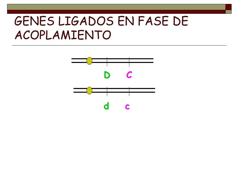 GENES LIGADOS EN FASE DE ACOPLAMIENTO D C d c