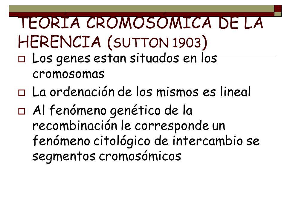 TEORÍA CROMOSÓMICA DE LA HERENCIA ( SUTTON 1903 ) Los genes estan situados en los cromosomas La ordenación de los mismos es lineal Al fenómeno genétic