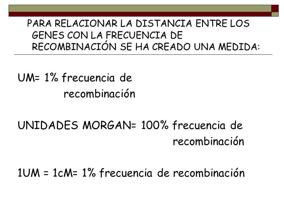 PARA RELACIONAR LA DISTANCIA ENTRE LOS GENES CON LA FRECUENCIA DE RECOMBINACIÓN SE HA CREADO UNA MEDIDA: UM= 1% frecuencia de recombinación UNIDADES M