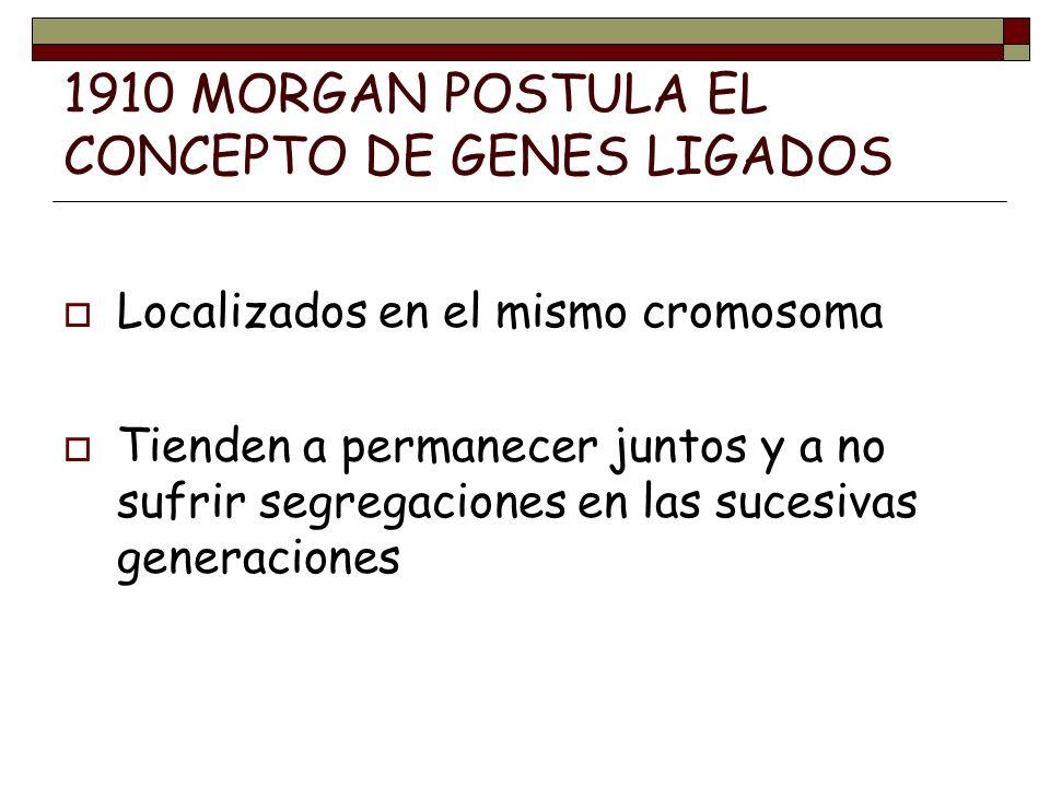1910 MORGAN POSTULA EL CONCEPTO DE GENES LIGADOS Localizados en el mismo cromosoma Tienden a permanecer juntos y a no sufrir segregaciones en las suce