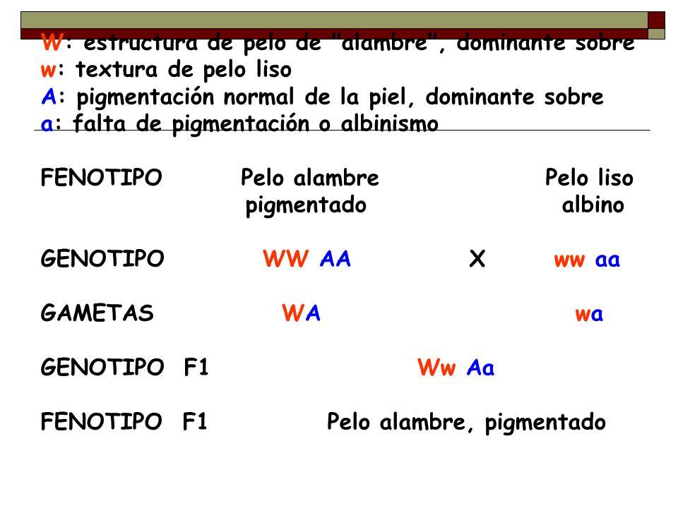 W: estructura de pelo de