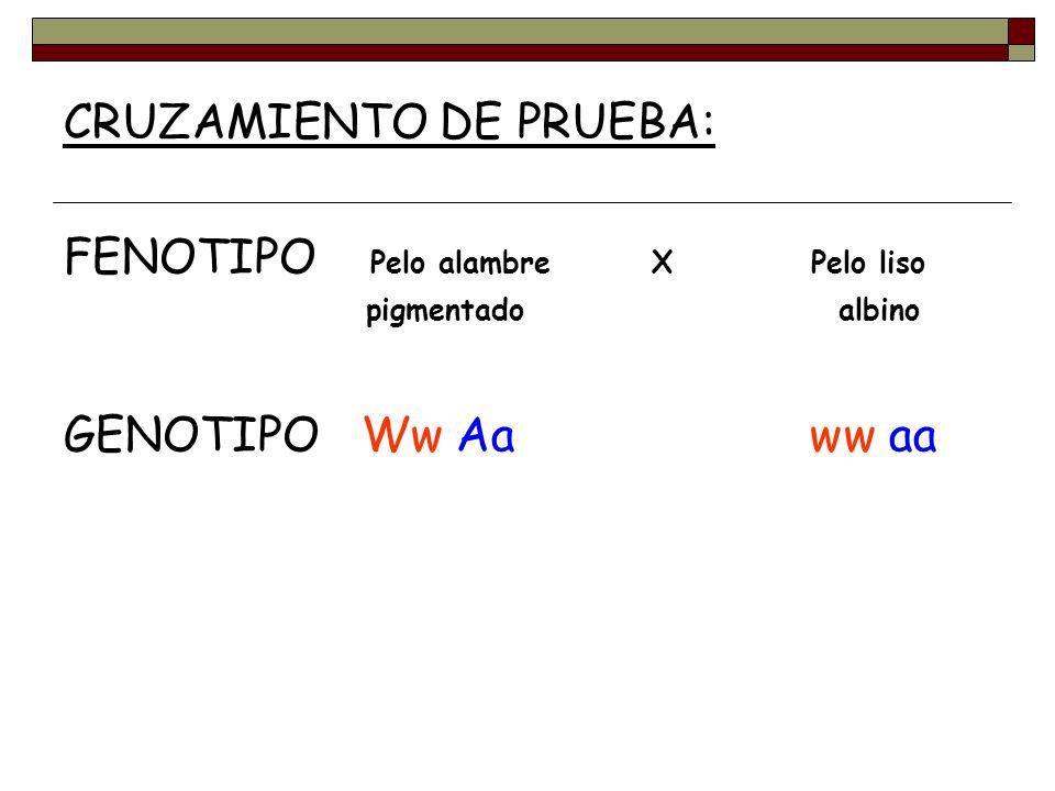 CRUZAMIENTO DE PRUEBA: FENOTIPO Pelo alambre X Pelo liso pigmentado albino GENOTIPO Ww Aa ww aa