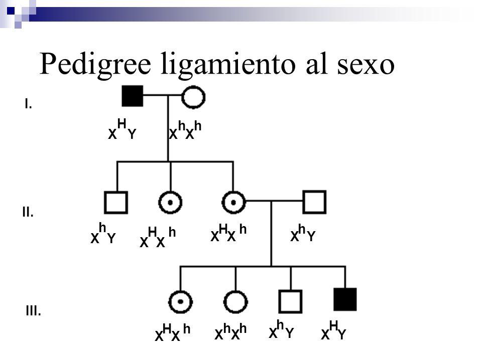 Pedigree ligamiento al sexo I. II. III. X Y H X H h X H h X Y h X H h X h X Y h H X h X Y h