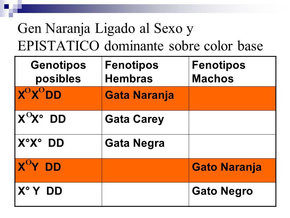 Gen Naranja Ligado al Sexo y EPISTATICO dominante sobre color base Genotipos posibles Fenotipos Hembras Fenotipos Machos X X DDGata Naranja X X° DDGat