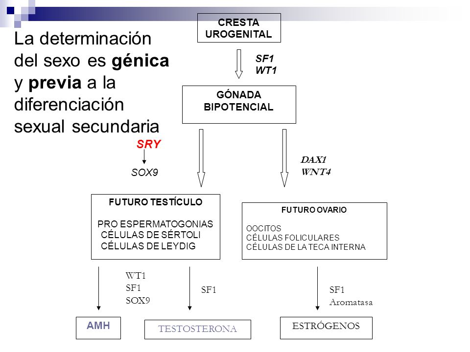FUTURO TESTÍCULO PRO ESPERMATOGONIAS CÉLULAS DE SÉRTOLI CÉLULAS DE LEYDIG FUTURO OVARIO OOCITOS CÉLULAS FOLICULARES CÉLULAS DE LA TECA INTERNA CRESTA