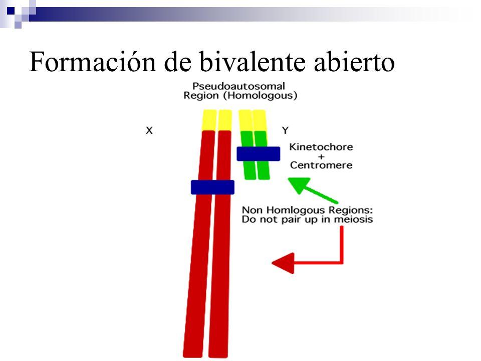 Formación de bivalente abierto
