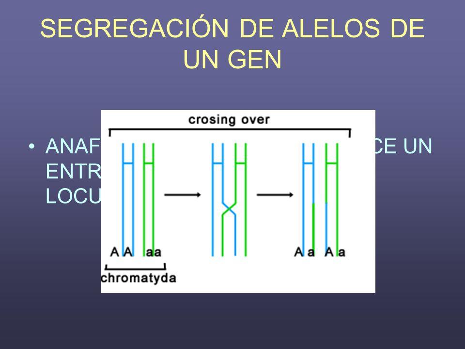 SEGREGACIÓN DE ALELOS DE UN GEN ANAFASE II CUANDO SE PRODUCE UN ENTRECRUZAMIENTO ENTRE EL LOCUS Y EL CENTRÓMERO.