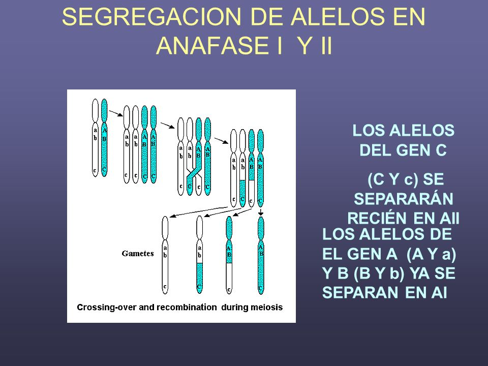 SEGREGACION DE ALELOS EN ANAFASE I Y II LOS ALELOS DEL GEN C (C Y c) SE SEPARARÁN RECIÉN EN AII LOS ALELOS DE EL GEN A (A Y a) Y B (B Y b) YA SE SEPAR