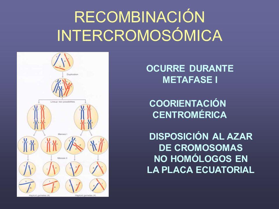 RECOMBINACIÓN INTERCROMOSÓMICA OCURRE DURANTE METAFASE I COORIENTACIÓN CENTROMÉRICA DISPOSICIÓN AL AZAR DE CROMOSOMAS NO HOMÓLOGOS EN LA PLACA ECUATOR