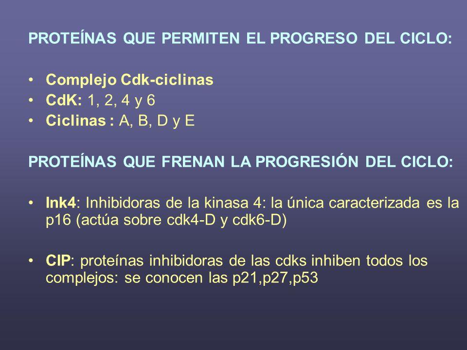 PROTEÍNAS QUE PERMITEN EL PROGRESO DEL CICLO: Complejo Cdk-ciclinas CdK: 1, 2, 4 y 6 Ciclinas : A, B, D y E PROTEÍNAS QUE FRENAN LA PROGRESIÓN DEL CIC
