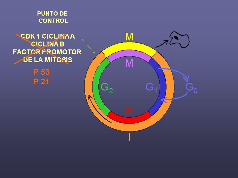 CDK 1 CICLINA A CICLINA B FACTOR PROMOTOR DE LA MITOSIS PUNTO DE CONTROL P 53 P 21