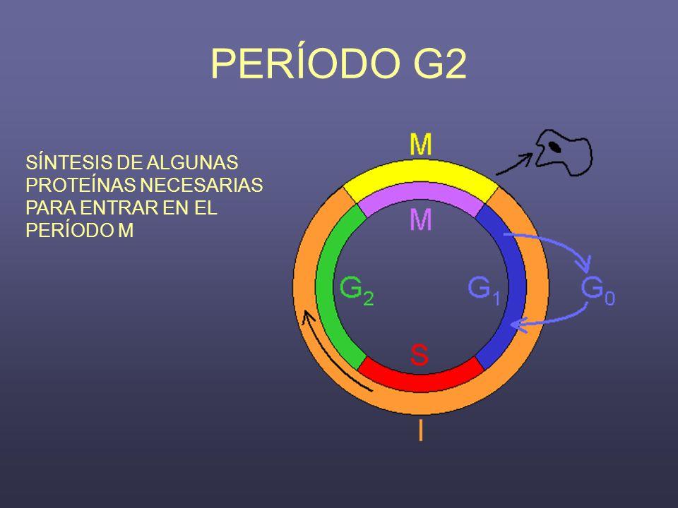 PERÍODO G2 SÍNTESIS DE ALGUNAS PROTEÍNAS NECESARIAS PARA ENTRAR EN EL PERÍODO M