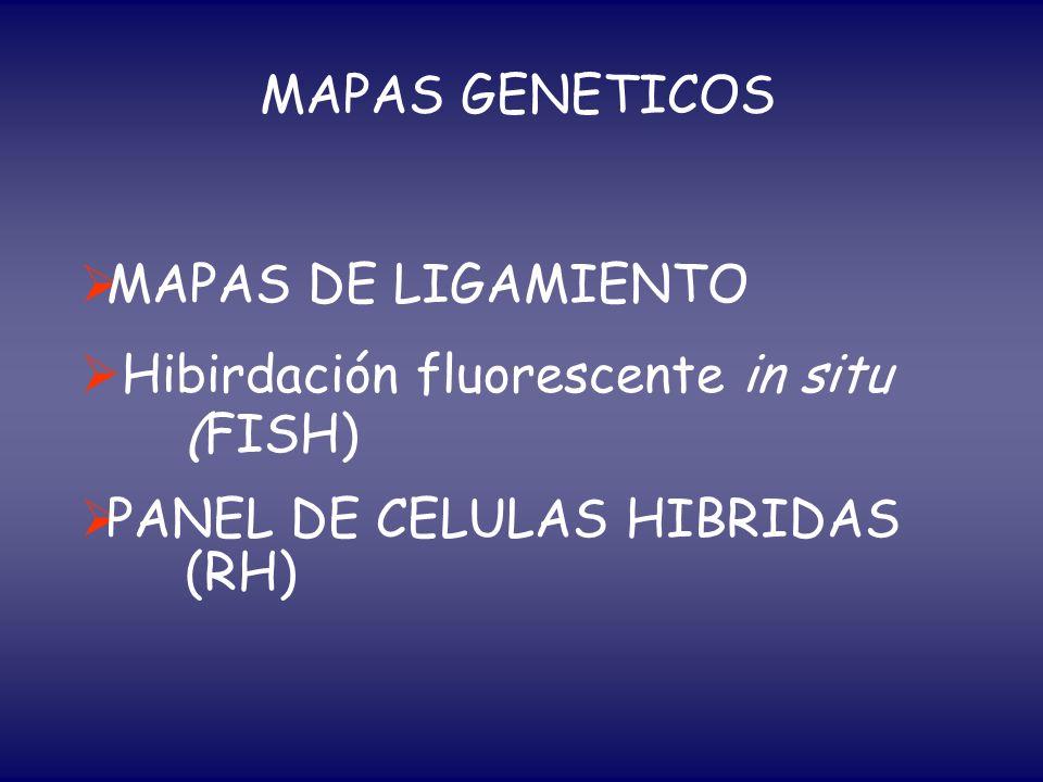 MAPAS GENETICOS MAPAS DE LIGAMIENTO Hibirdación fluorescente in situ (FISH) PANEL DE CELULAS HIBRIDAS (RH)