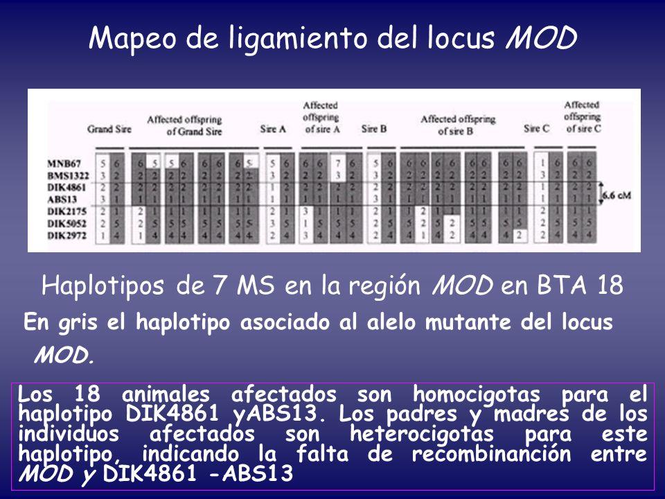 Mapeo de ligamiento del locus MOD Haplotipos de 7 MS en la región MOD en BTA 18 En gris el haplotipo asociado al alelo mutante del locus MOD. Los 18 a