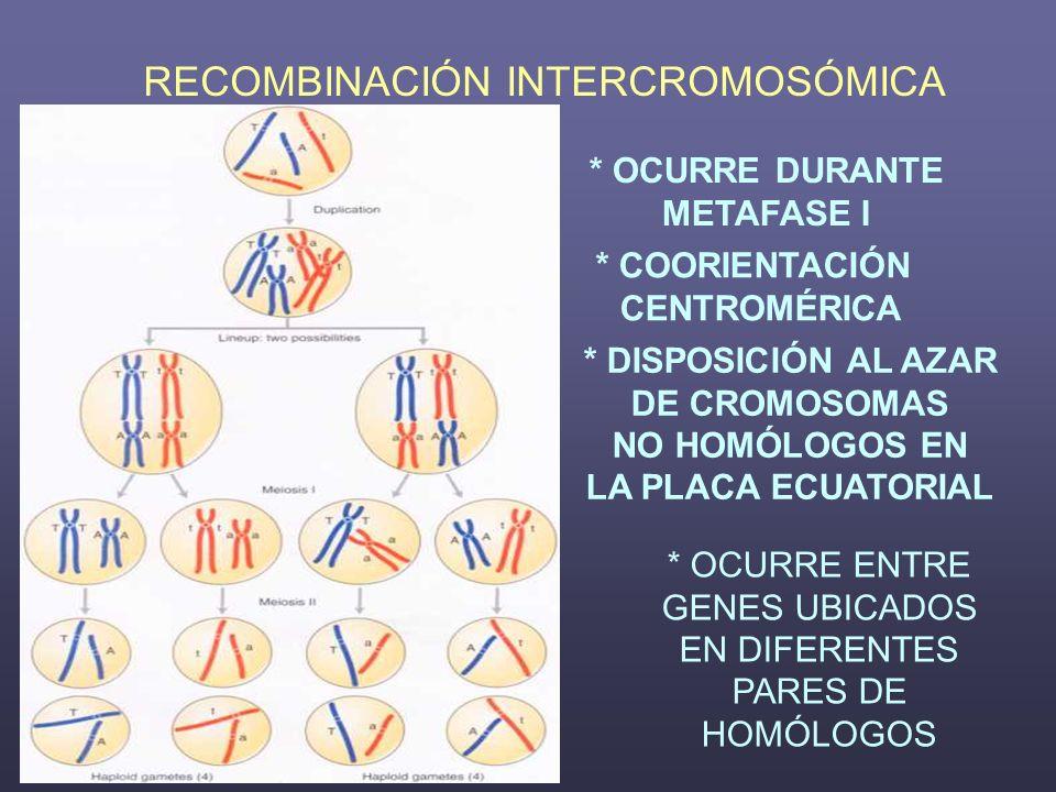 RECOMBINACIÓN INTERCROMOSÓMICA * OCURRE DURANTE METAFASE I * COORIENTACIÓN CENTROMÉRICA * DISPOSICIÓN AL AZAR DE CROMOSOMAS NO HOMÓLOGOS EN LA PLACA E
