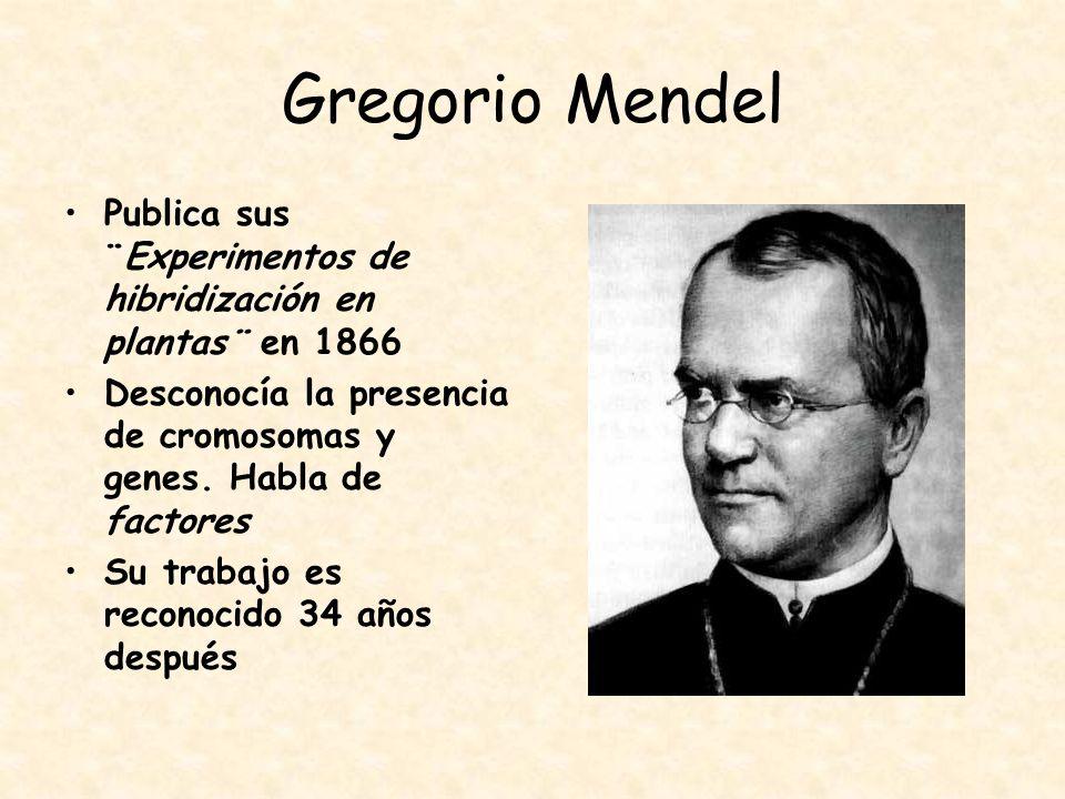 Gregorio Mendel Publica sus ¨Experimentos de hibridización en plantas¨ en 1866 Desconocía la presencia de cromosomas y genes. Habla de factores Su tra