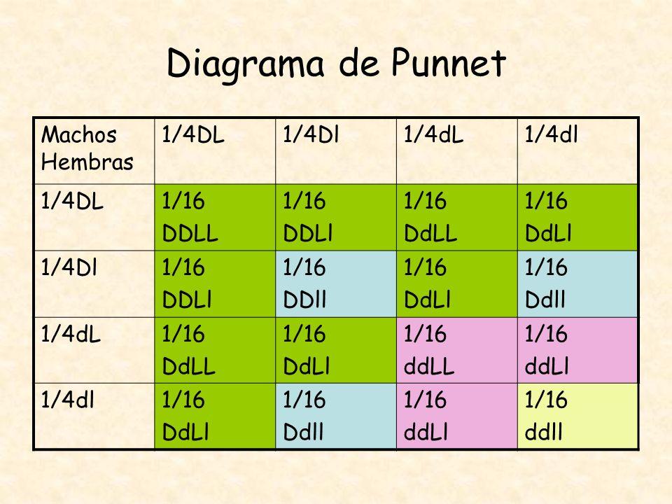 Diagrama de Punnet Machos Hembras 1/4DL1/4Dl1/4dL1/4dl 1/4DL1/16 DDLL 1/16 DDLl 1/16 DdLL 1/16 DdLl 1/4Dl1/16 DDLl 1/16 DDll 1/16 DdLl 1/16 Ddll 1/4dL