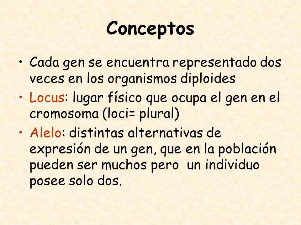 Conceptos Cada gen se encuentra representado dos veces en los organismos diploides Locus: lugar físico que ocupa el gen en el cromosoma (loci= plural)