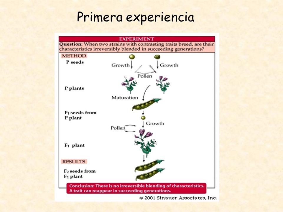 Primera Ley Principio de uniformidad Si se aparean dos líneas puras (homocigota) que difieren en una determinada característica toda la progenie presentara el mismo fenotipo independientemente de la dirección del cruzamiento, y este fenotipo coincide con el presentado por uno de sus progenitores.